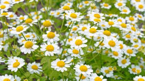 feverfew insectary plants