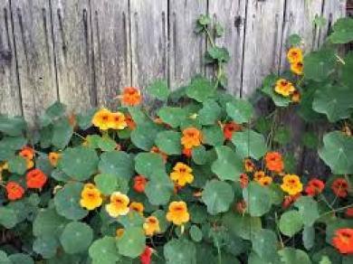 Nasturtium Aromatic Pest Repelling Plant