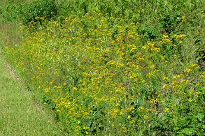 St. John's wort erosion control plants