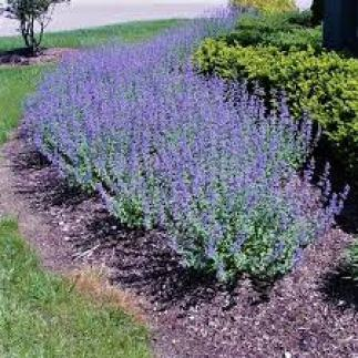 catmint ground cover plants