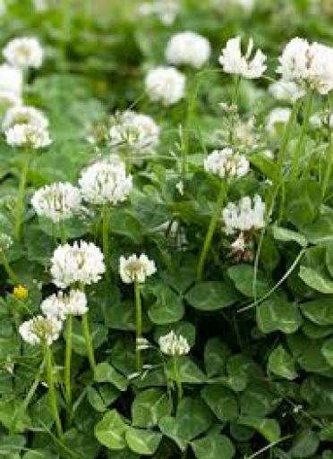 white clover insecticidal plants indicator plants