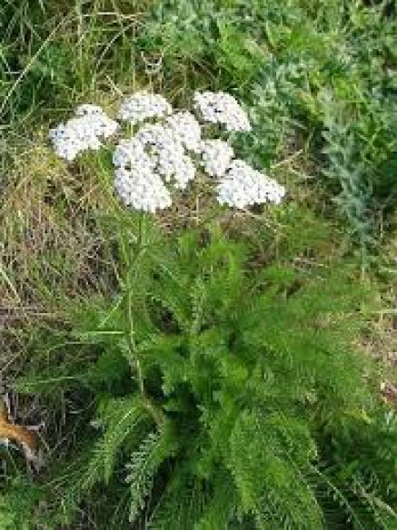 Yarrow insectary plant erosion control plant