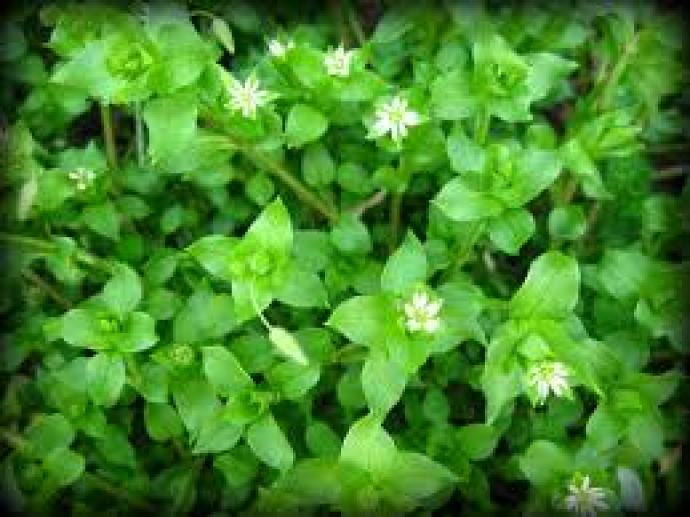 chickweed indicator plants