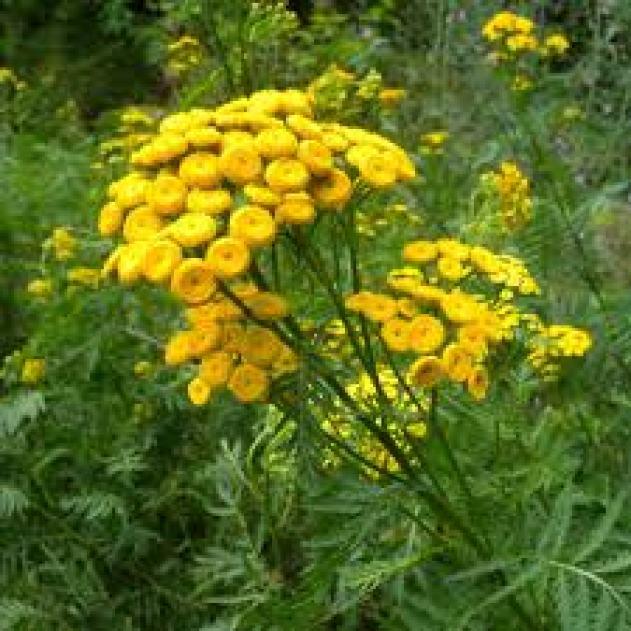 Tansy indicator plants