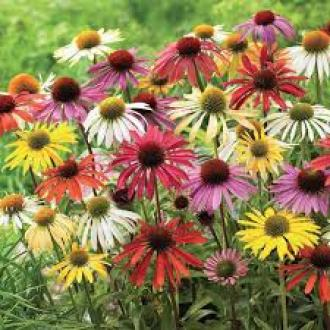 Cone flower low maintenance plants
