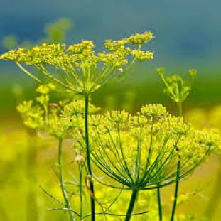 fennel insecticidal plants