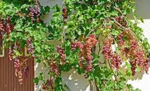 grapes nectar providing plants