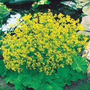 Lady's Mantle ground cover plants