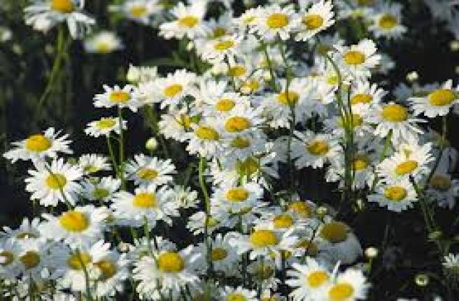 ox-eye daisy indicator plants