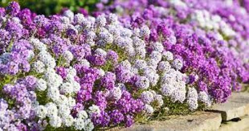sweet alyssum insectary plants