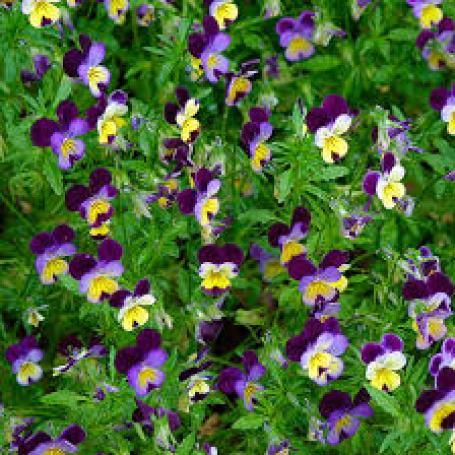 viola shade tolerant plants
