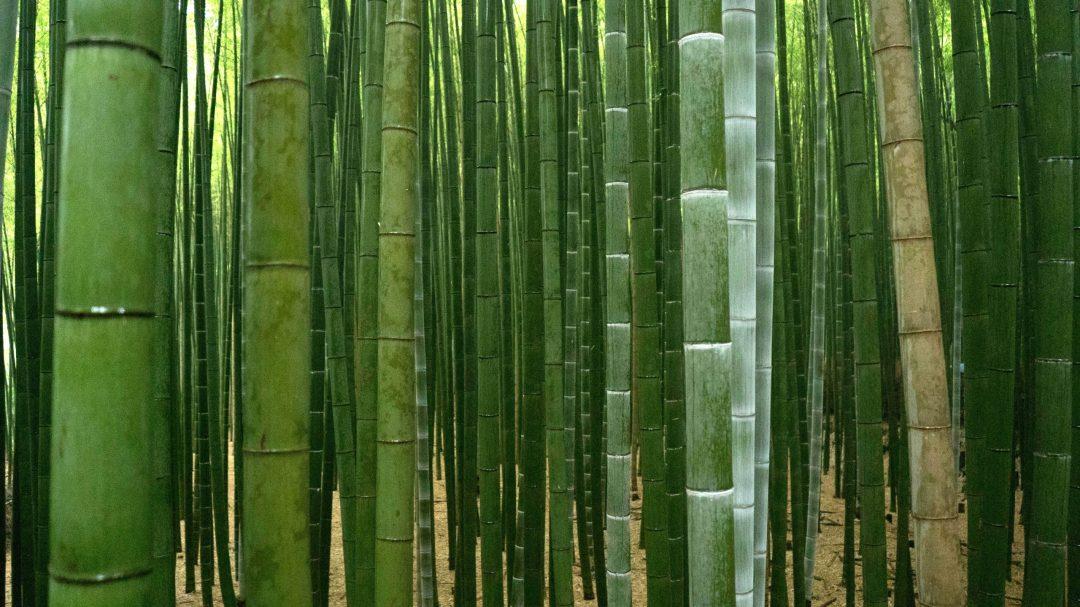 Le bambou d'Arashiyama