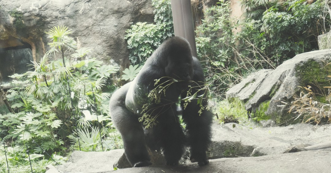 Un gorille au zoo d'Ueno