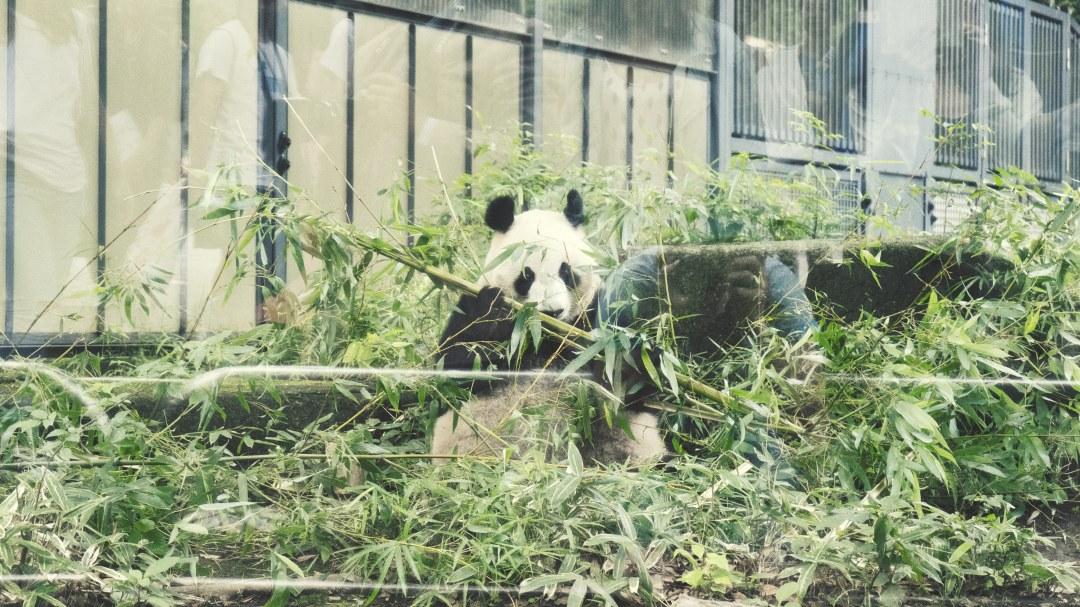 Les pandas au zoo d'Ueno