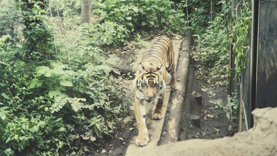 Le tigre de Sumatra au zoo d'Ueno