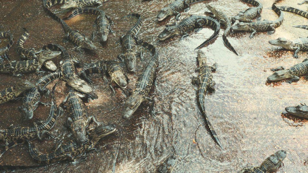 Autres bébés alligators