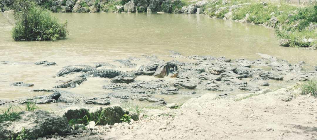 de nombreux alligators