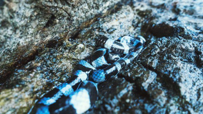 Les serpents tricots rayés de Nouvelle-Calédonie