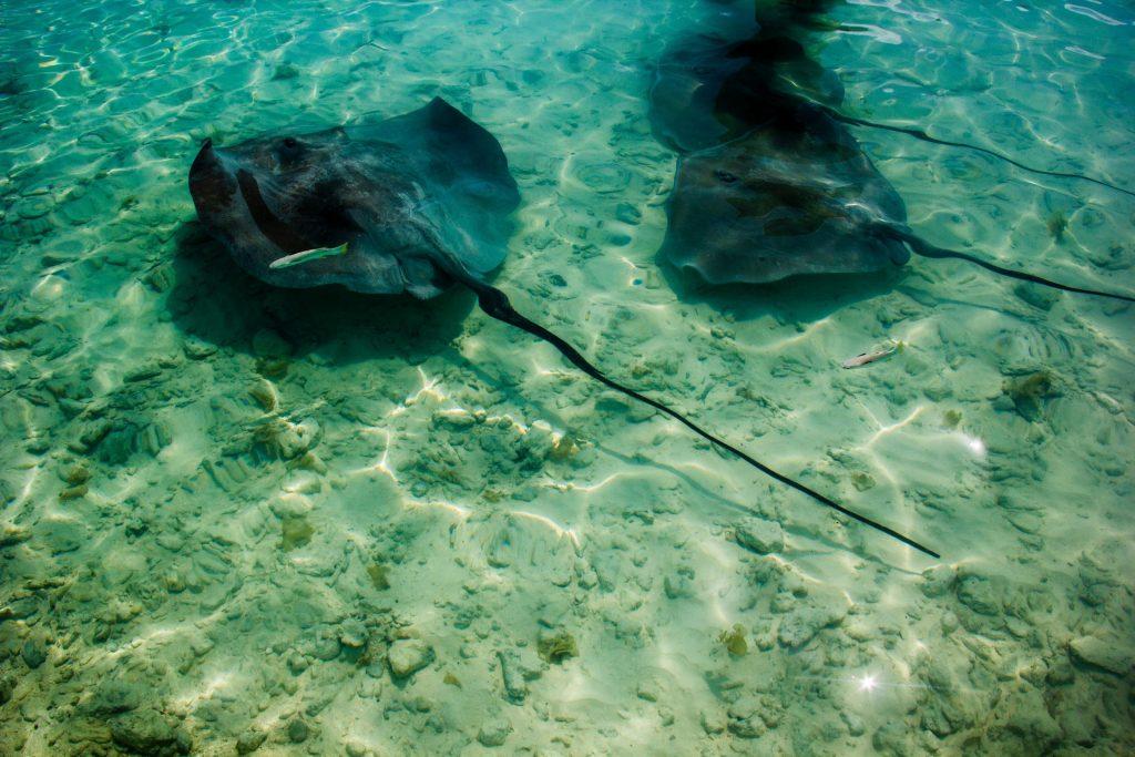 raie en polynesie