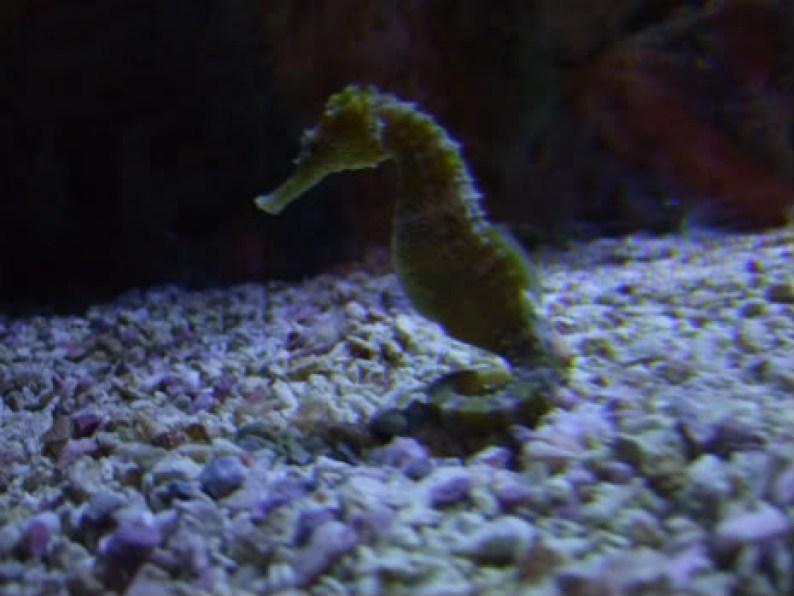 Vancouver Aquarium Seahorse
