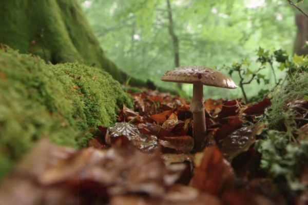 asturian forest mushroom