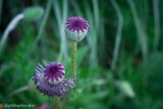 Oriental poppy seeds