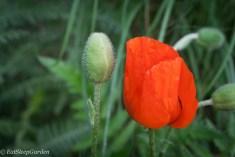 Oriental Poppy Bloom