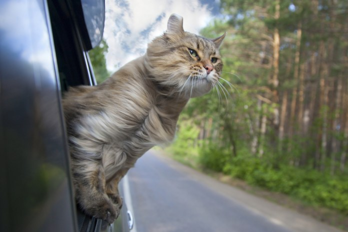 Car travelling in car - travel with your pet
