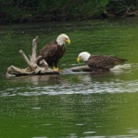 Eagles in the wild in Green Lane, PA- Wordless Wednesday