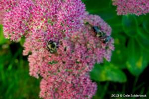 Busy Bees Drunk on Sedum