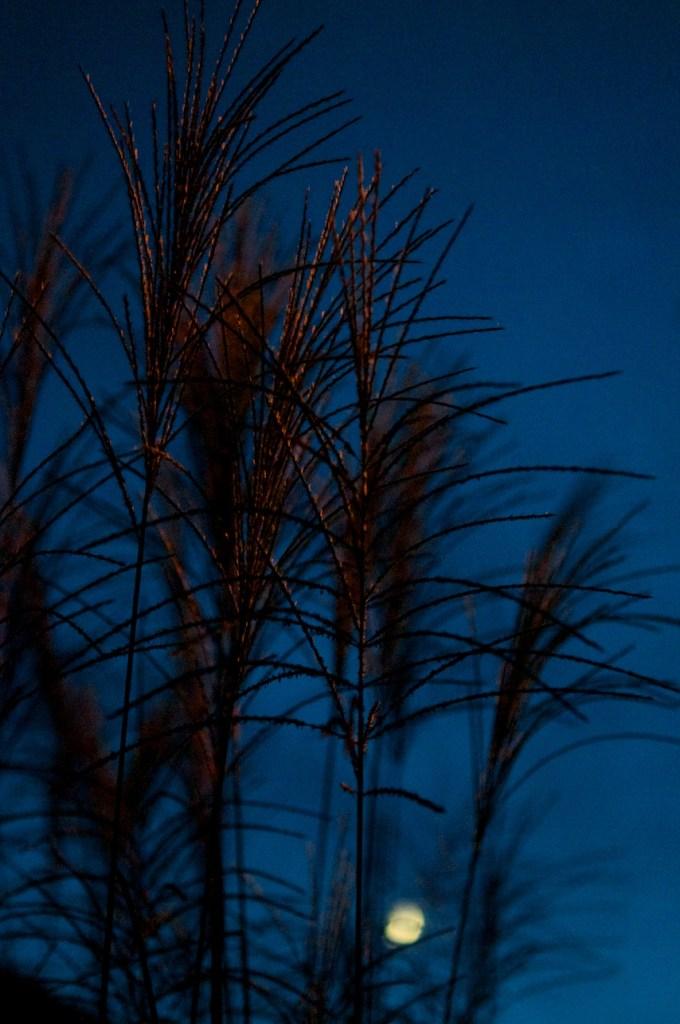 Nocturnal Grass