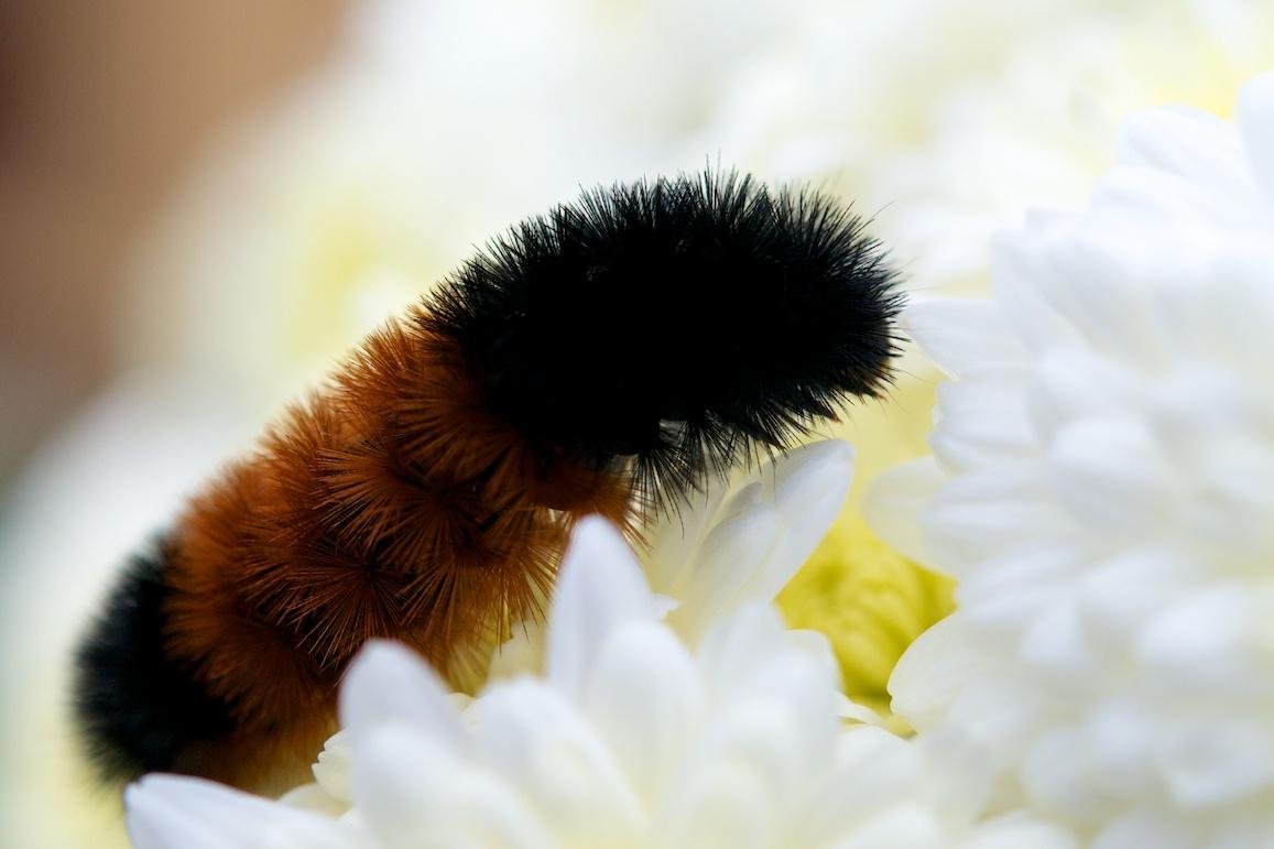 Minimalist Caterpillar
