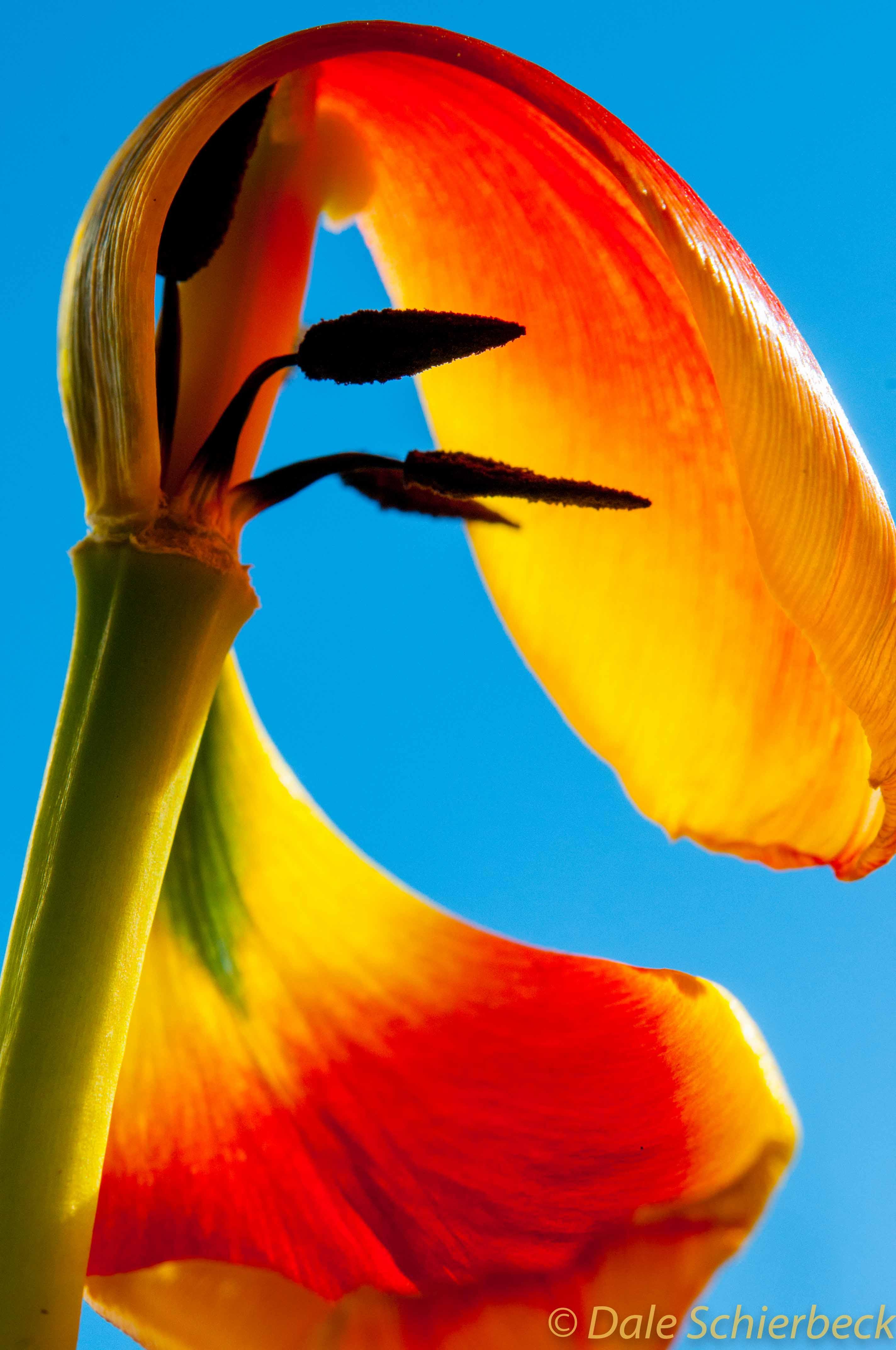 Tulip Macro-14