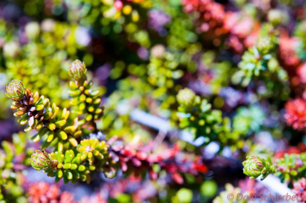 Cranberry Bush