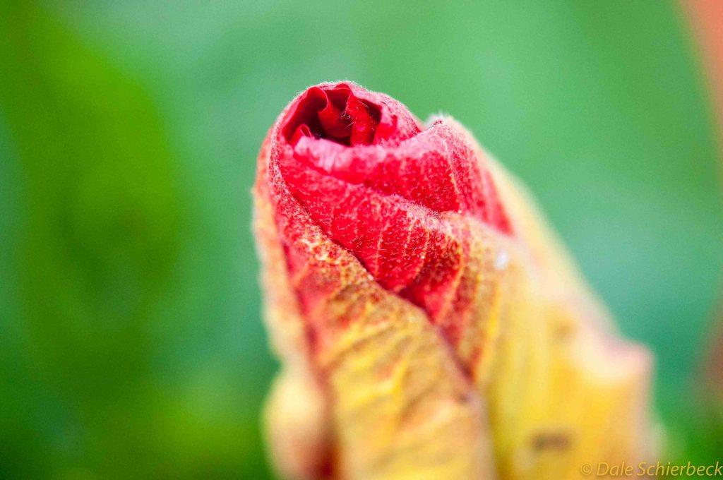 Hibiscus Bud-2