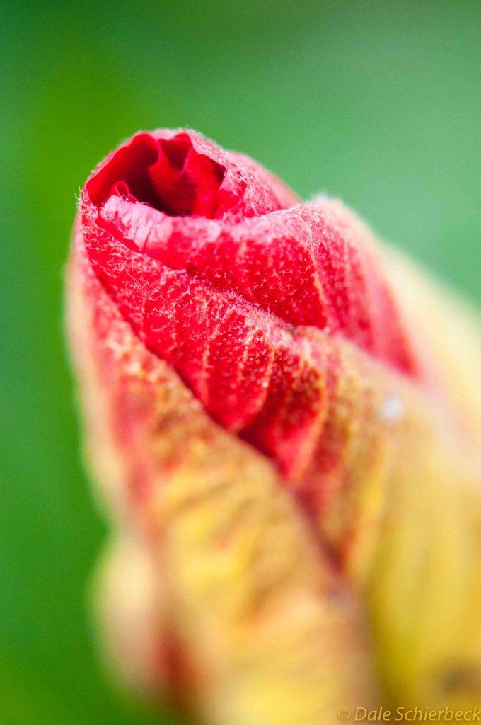 Hibiscus Bud-3