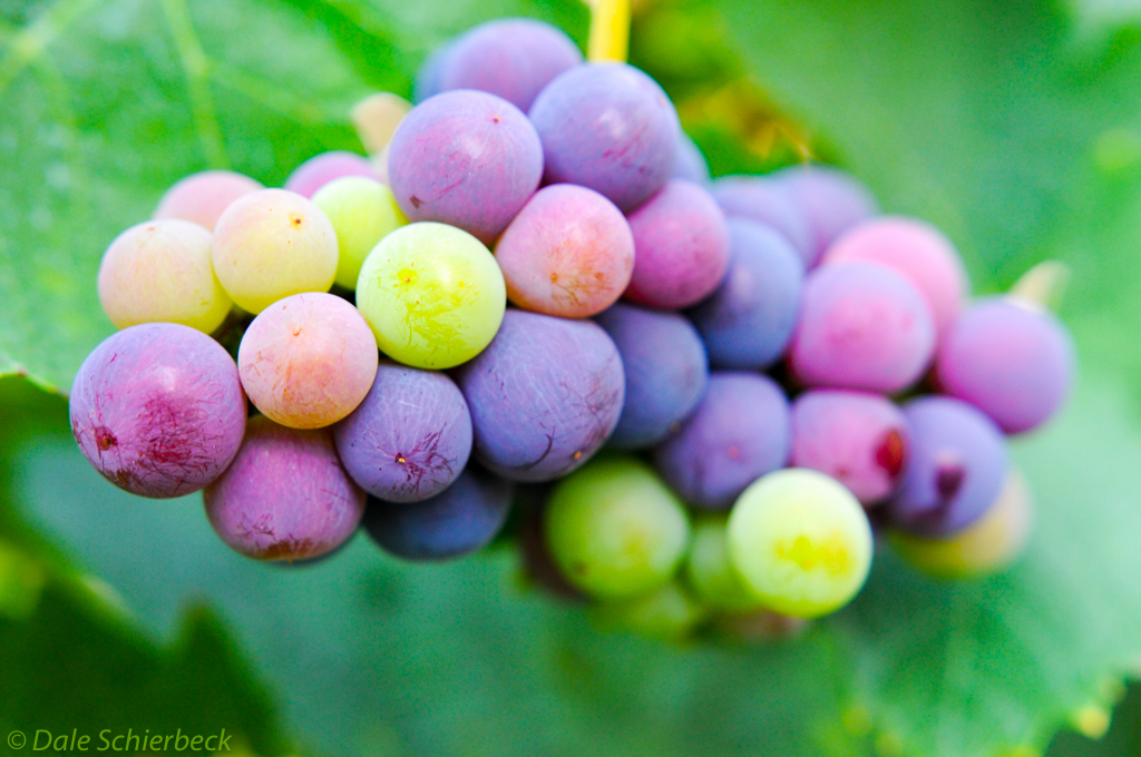 Densely packed grapes
