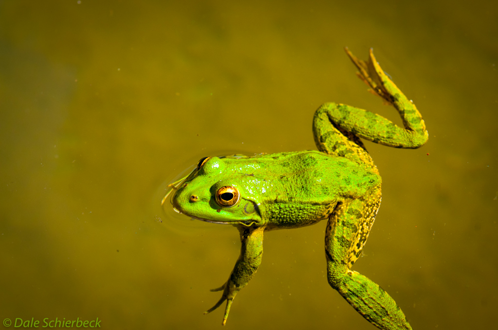 Lily Green Frog