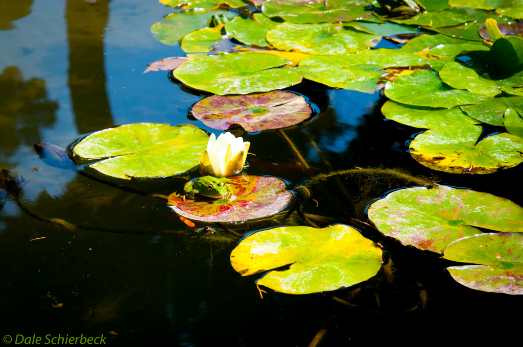 Frog upon a lily pad