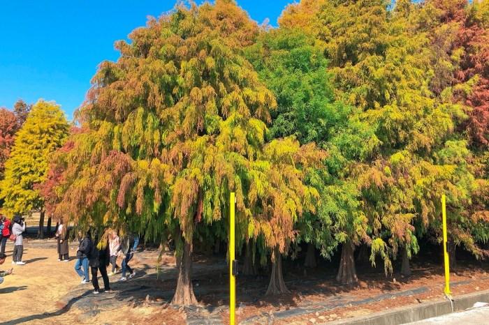 台南六甲菁埔埤落羽松|在元旦連假首日爆出出遊人潮,遊客在冬日暖陽中漫步觀賞,非常舒適。