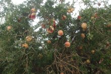 Pomegrate tree fruiting by the roadside