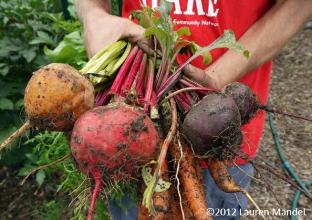 """Root Harvest"" - SHARE Food Program, PA || (c)2012 Lauren Mandel"