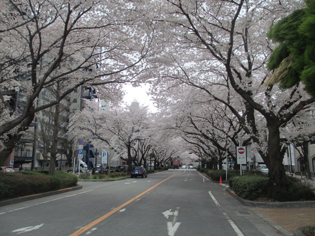 Cherry Blossom Street in Sagamihara