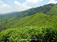 Boh Tea Garden plantation, Cameron Highlands