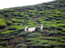 Cameron Valley Tea Plantation, Cameron Highlands