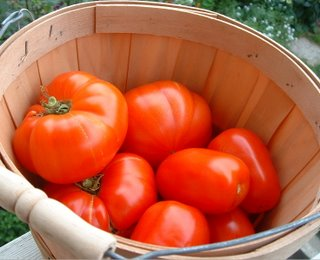 The tomatoes are ripening!!