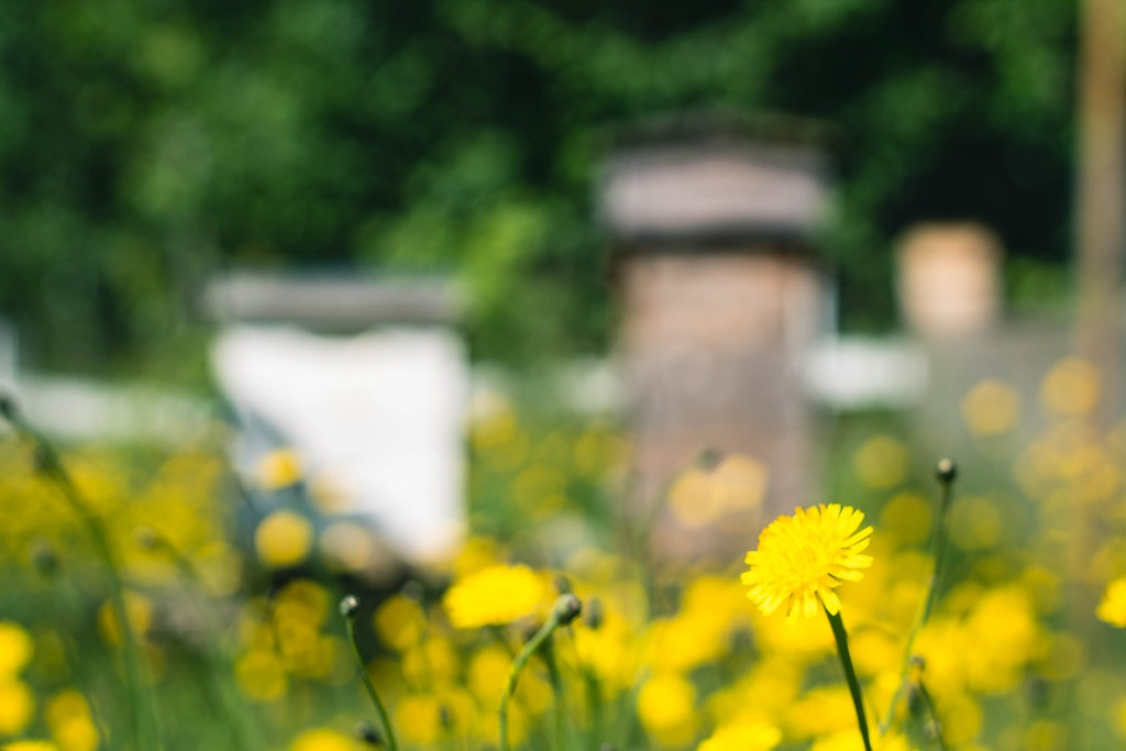 Sunny field of dandelions in front of bee hives.