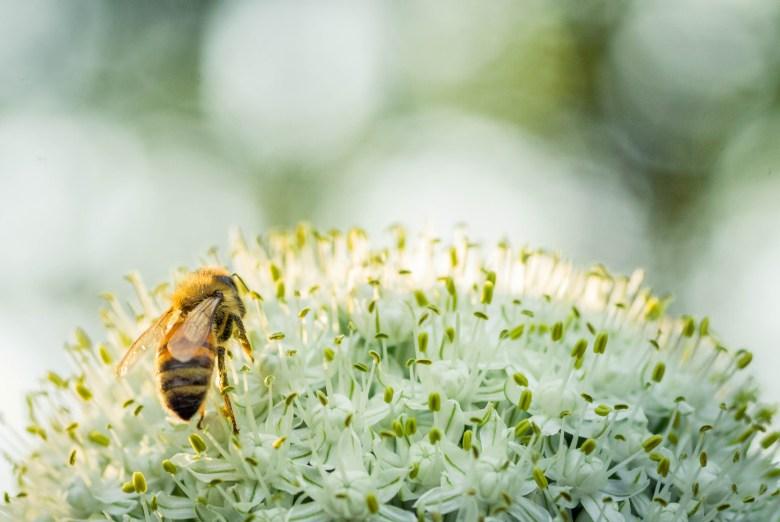 Honey Bee on Onion Flower