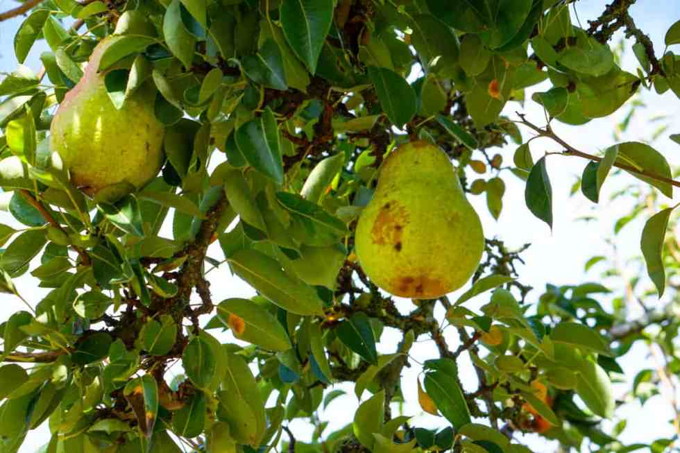 Delicious Pears - Straight off the tree in Tacoma