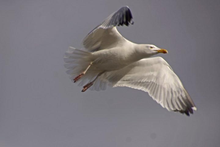 Måge fanget efter take off fra mast